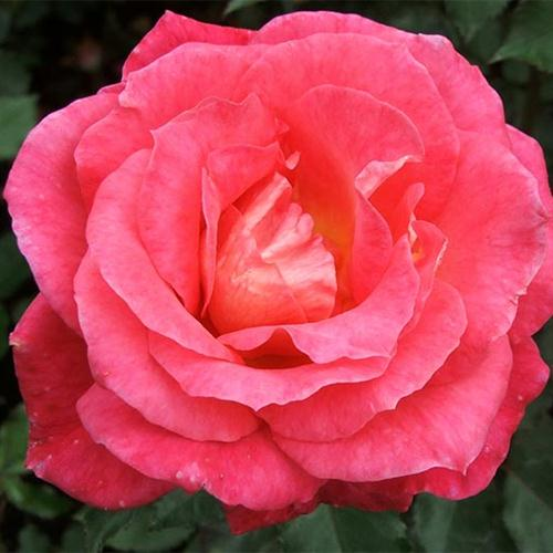 Charles W. Glover, The Rose Of Tralee, Piano, Vocal & Guitar (Right-Hand Melody)